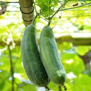 Loofah-luffa-Luffa-Aegyptiaca-Seed-500-Seeds-approx-by-weight-111473858690-4