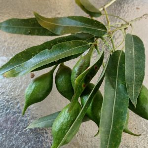 Bottle-tree-Narrow-Leaf-Seed-Brachychiton-rupestri-20-seeds-per-pack-254421937873-2