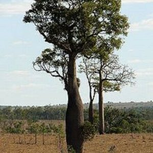 Bottle-tree-Narrow-Leaf-Seed-Brachychiton-rupestri-20-seeds-per-pack-254421937873