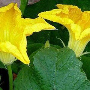 Loofah-Luffa-Luffa-Aegyptiaca-Seed-100-Seeds-Approx-by-Weight-251660378537-3