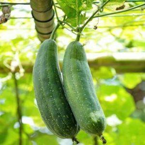 Loofah-Luffa-Luffa-Aegyptiaca-Seed-100-Seeds-Approx-by-Weight-251660378537-4